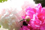 Old-fashioned Peonies in Springtime