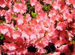Azaleas in Spring, New England