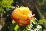 Yellow Rose in garden Musee d'Rodin,  Paris