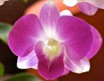 Orchid blossom at the Grand Wailea Resort, Maui, Hawaii