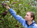 Applepicking in New England