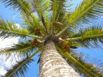 Coconut Tree in Maui, Hawaii